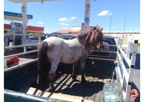 Vendo pony semental