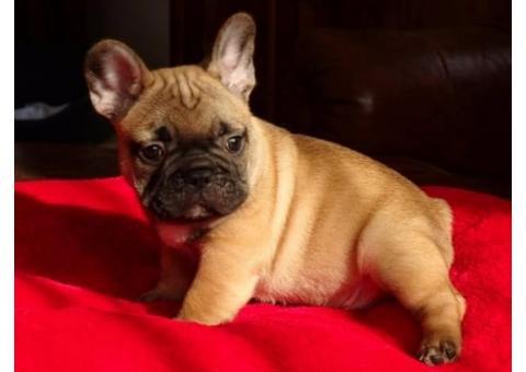 Bulldog Francés. Cachorros pura raza