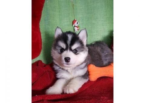 Regalo lindo siberian husky cachorros para adopcion
