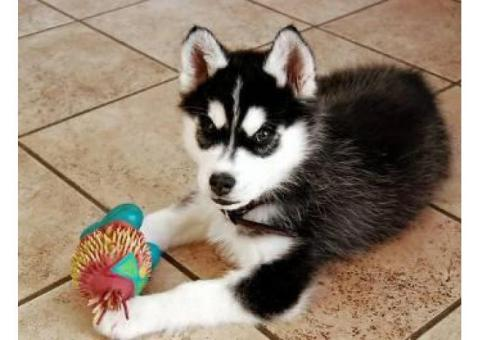 Cachorros de husky siberiano de pura raza Full Pedigree