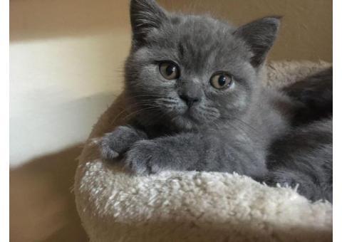 Hermosos gatitos de pelo corto británico azul