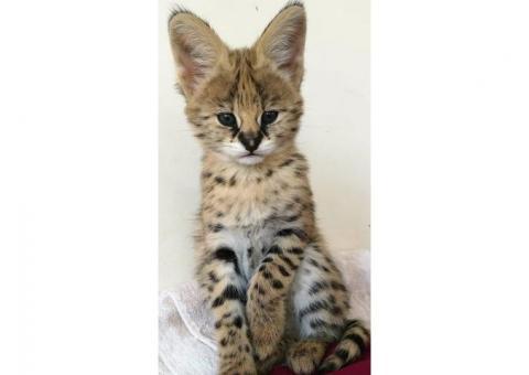 Serval y Savannah, gatitos registrados caracal